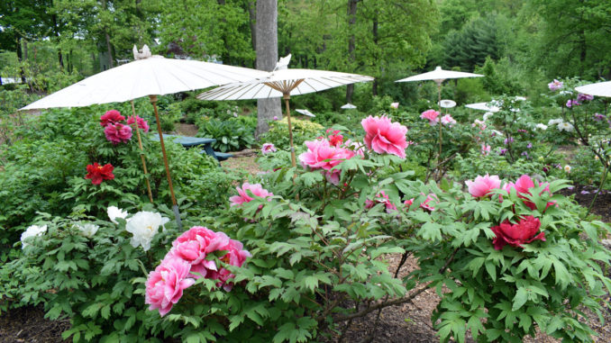 Peony Heaven in CT