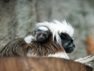 Tamarin Mom and Baby